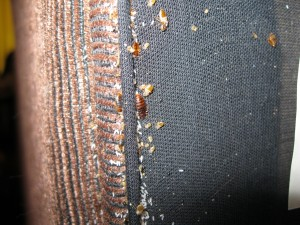 Bed bug infestation in furniture