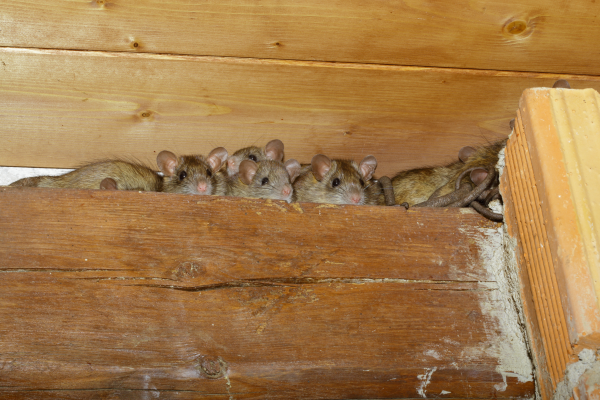 How to Get Rid of Pests in Your Attic | Rodents, Insects ...